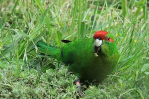 The kakariki population has increased. Photo / File / Jim Eagles