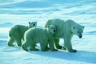 A polar bear and her cubs walk through the snow near Churchill, 'the world's polar bear capital'. Photo / Tourism Manitoba
