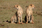 Cheetahs in the Masai Mara reserve. Photo / Carla Hansen
