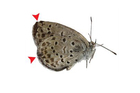 Twelve per cent of pale grass blue butterflies that were exposed to nuclear fallout as larvae immediately after the tsunami-sparked disaster had abnormalities, a study has shown. Photo / Supplied