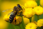 New Zealand bees were doing better than in many other countries. Photo / Thinkstock