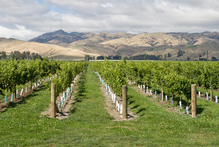 Marlborough vineyards were responsible for 76 per cent of New Zealand's total wine vintage in 2011. Photo / Thinkstock