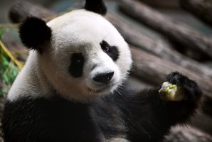 A Chinese panda sucks a  honey and apple ice cream in his enclosure at Beauval zoo in Saint-Aignan central-western France. Photo /AFP