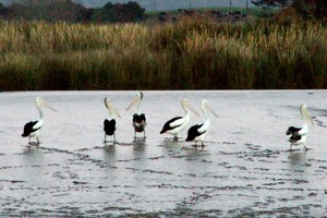 The sight of pelicans on the river near Dargaville is delighting locals. Photo / Silvia Juretich