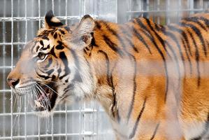 Female Sumatran tiger Sali. Photo / Christine Cornege