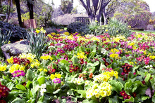 A carpet of spectacular multicoloured polyanthus adds brightness and appeal. Photo / Rotorua Daily Post
