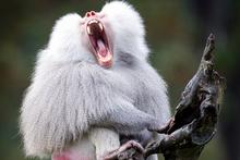 A baboon at Auckland Zoo. Photo / Richard Robinson