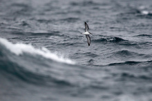 Sea birds fly around the Hauraki Gulf in search of food. Photo / Steven McNicholl