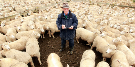 PGG Wrightsons auctioneer Vern Wiggins at at the Hawkes Bay sale yards in Hastings. Photo / Paul Taylor