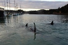 The males had dorsal fins about 2m long. Photo / Supplied