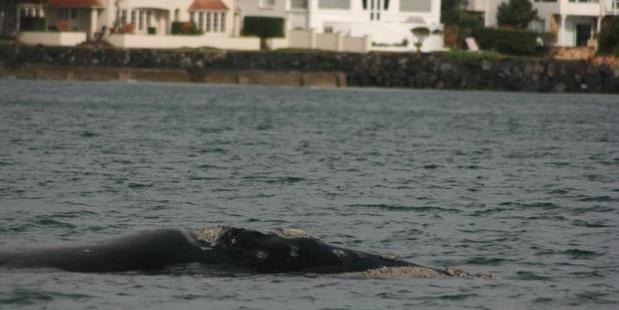 The rare southern right whale off Auckland's Browns Bay. Photo / Martin Stanley / Department of Conservation