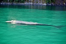 The Southern Right Whale in Milford Sound. Photo / David Newman