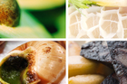 (Clockwise top left) Food that may not appeal to all tastes: Avocado, tripe, black pudding and snails. Photos / Thinkstock