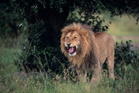 A lion has been spotted in Essex. Photo/ Thinkstock