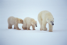 A polar bear won't tolerate any perceived threat to her cuddly cubs. Photo / Thinkstock