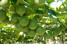 The pulp of monk fruit is concentrated into a natural additive that is up to 300 times sweeter than sugar and can be used in a range of consumer goods. Photo / Supplied