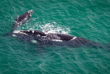 A  whale and her calf were spotted off Omaha Beach near Warkworth. Photo / Miriam Godfrey