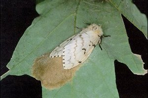 An Asian Gypsy Moth female laying eggs. Photo / Supplied