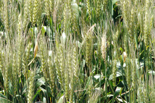 Pastoral Genomics is carrying out field trials on genetically modified rye-grass in the United States. Photo / NZPA 