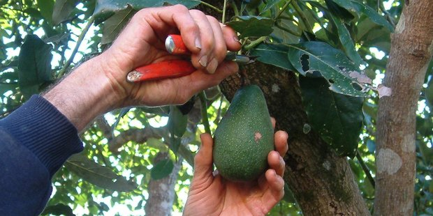 A man has been awarded $75,000 after he suffered major burns from power lines while picking avocados last year. Photo / Supplied