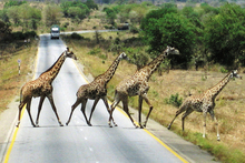 Giraffes amble across a road in the Serengeti. Photo / Northern Advocate