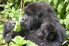 Mountain celery is a vital part of the gorilla's diet. Photo / David Brown