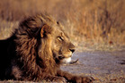 Lions leave no doubt as to who is boss. Photo / Thinkstock