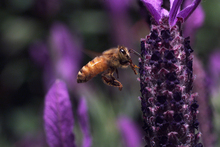 Attracting bees to your garden will ensure pollinated crops and fertilised grounds. Photo / Mark Mitchell