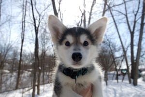 The SPCA matches dog breeds with new families to give them the best chance at looking after their animals. For example, husky puppies are extremely high-needs dogs. Photo / Thinkstock