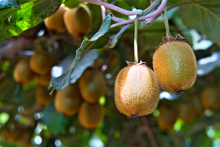 A 10km 'controlled area' has been placed around a kiwifruit orchard in Whenuakite. Photo / Thinkstock 
