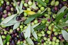 Trials by the Liggins Institute have found olive-leaf extract to have some benefits for men at risk of contracting diabetes. Photo / Supplied