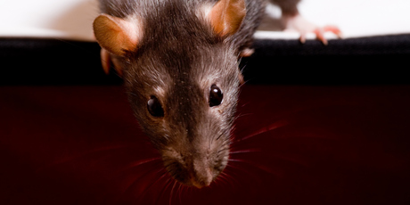 The US military are looking at training rats to sniff out explosives; a new era of rats to the rescue. Photo / Thinkstock