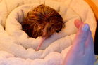 Nick1 is Auckland Zoo's fifth born kiwi from this breeding season. Photo / Greg Bowker
