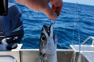 These slimy mackerel are the best bait for kings or snapper. Photo / Geoff Thomas