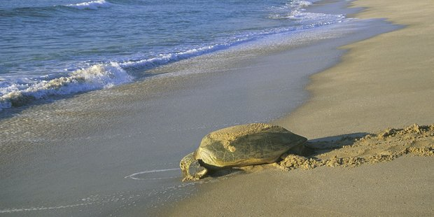 Oman's conservation programme seeks to improve green turtle numbers. Photo / Vicki Virtue