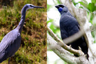 Should the White Faced Heron (left) or the Kokako be New Zealand's Bird of the Year? You decide! File photo / NZ Herald