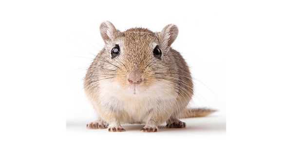 The gerbils' hearing improved by 46 per cent on average. Photo / Thinkstock