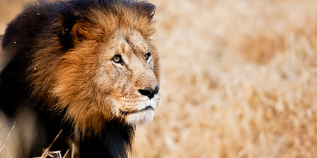 Getting close to the king of beasts on its home turf is an eerie experience. Photo / Aaron Smale