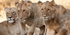 Watch: South Africa: Observing the kings of beasts