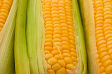 Rats that were fed NK603 corn developed tumours. Photo / Thinkstock