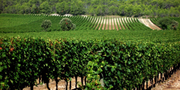 In France, grenache is widely planted in the Southern Rhone and Languedoc. Photo / Thinkstock