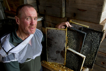 Kerry McCurdy says hives across Auckland are collapsing. Photo / Brett Phibbs