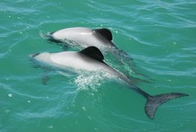 North Island Maui's dolphins. Photo / Department of Conservation