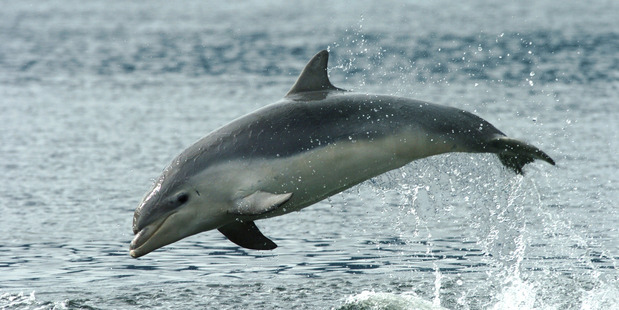 A young bottlenose dolphin in Doubtful Sound. Photo / Supplied