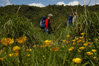 The sun shines hot and high as Tessa Marshall walks among the buttercups in a clearing. Photo / Amos Chapple