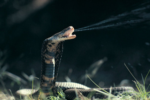Snake venom could be used in the development of drugs for conditions like cancer or diabetes. Photo / Thinkstock