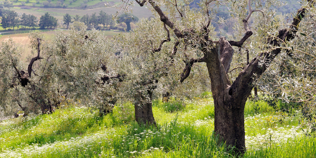 Helping to harvest olives in Tuscany is just one of the myriad options open to willing workers through the international Wwoof programme. Photo / Thinkstock