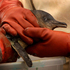 A Little Blue penguin is thoroughly washed to remove oil from its feathers following the oil spill from the container ship MV Rena.