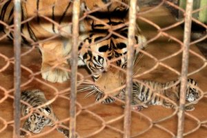 Newly born cubs lie inside a cage with their mother at the Taman Rimba zoo in Jambi. Photo / AFP