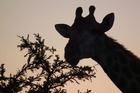 A giraffe eats breakfast, just before dawn. Photo / P.K Stowers